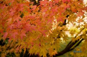 """Acer palmatum"" ""Japanese maple"""